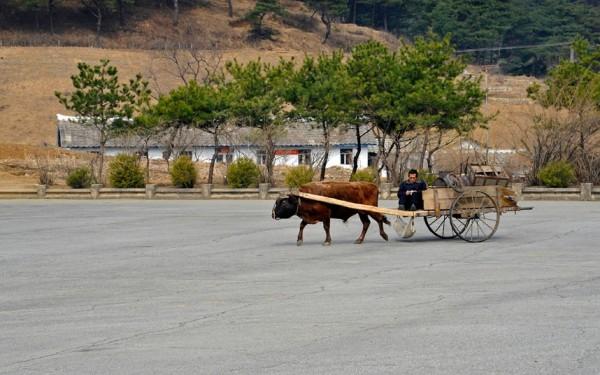 A défaut de voiture, les charrettes tirées par des bœufs sont encore très utilisées