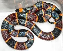 L'un des serpent corail...