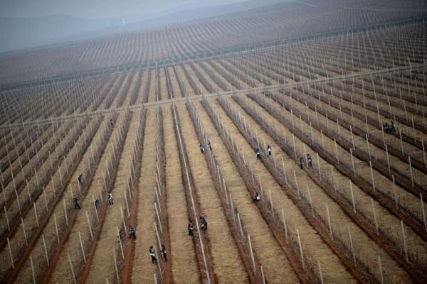 Des champs de pommiers à perte de vue