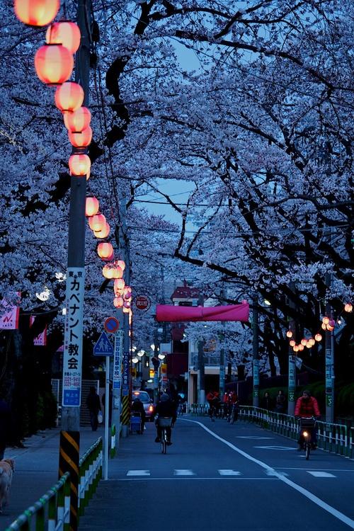 Cerisiers du Japon en fleurs