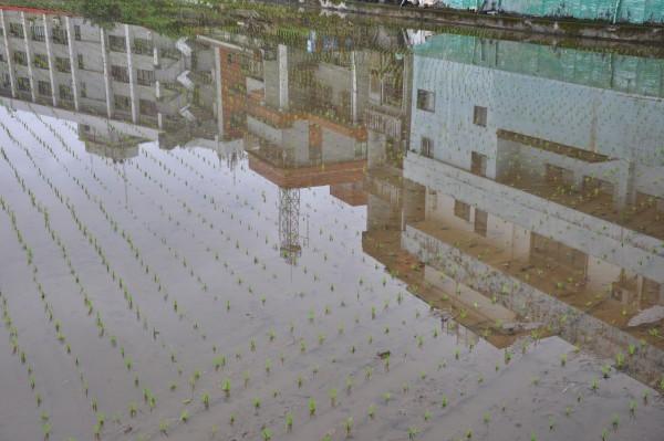 Les rizières côtoient les immeubles...