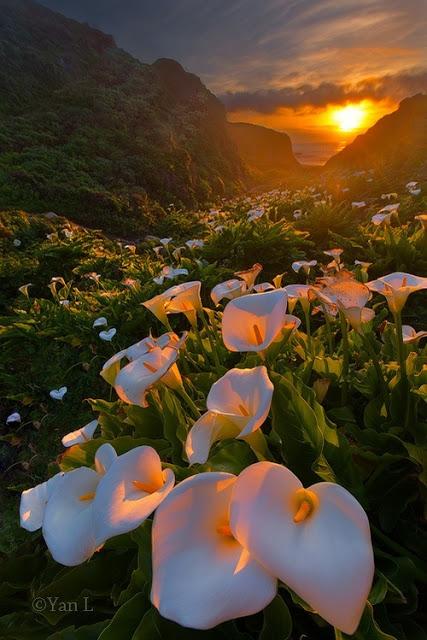 La vallée de Calla Lily, région du Big Sur en Californie