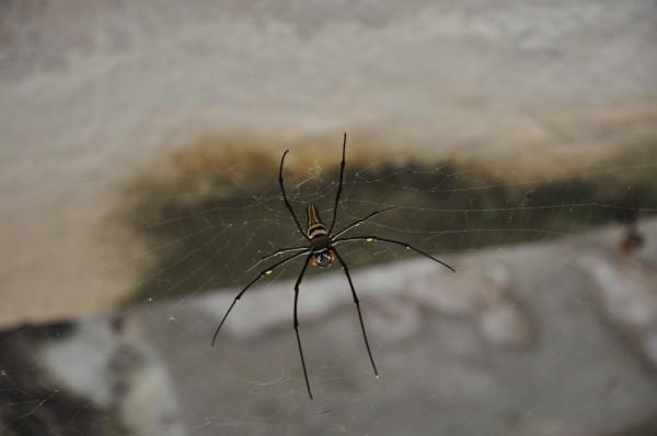 Un rencontre peu ragoutante: une araignée géante!