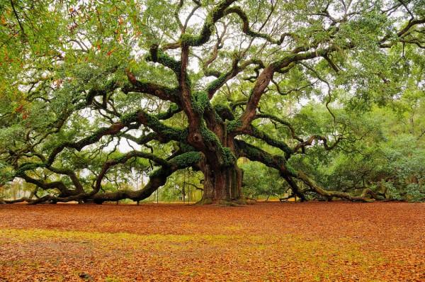Grand chêne en Caroline du Sud