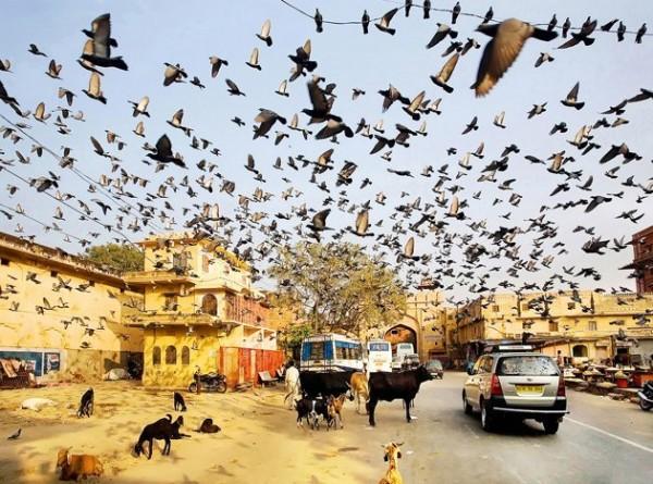 Nuée d'oiseaux et vaches sacrées en Inde