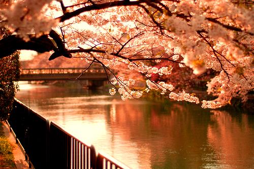 Rivière bordée de cerisiers au Japon