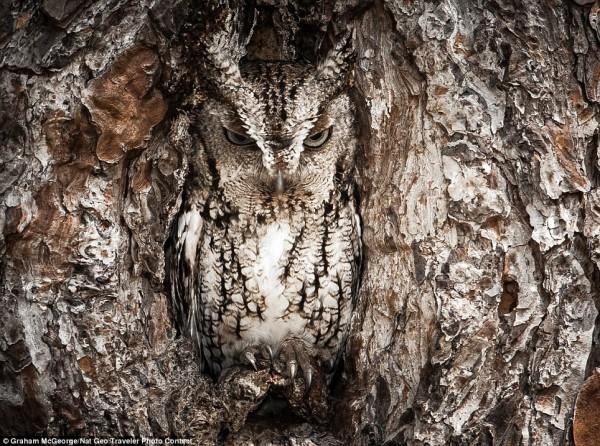 Le camouflage du Hibou...
