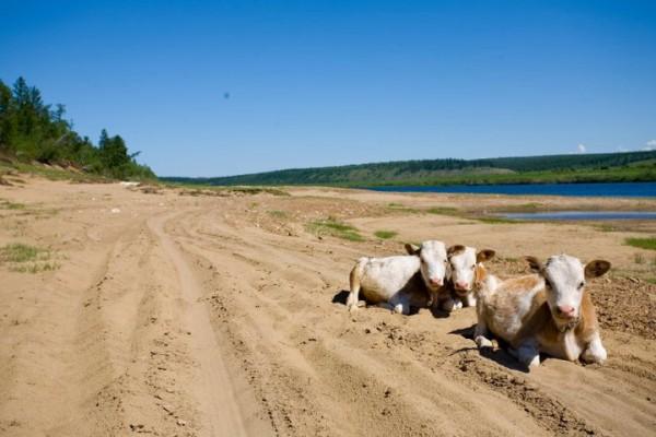 Vaches dans la boue à Yakutsk en Sibérie