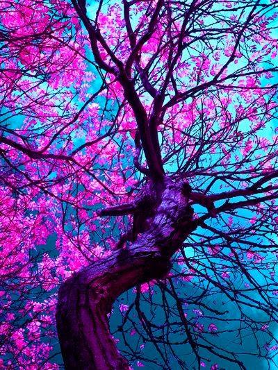 Cerisiers en fleur au Japon