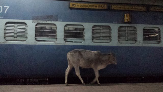 train vache inde